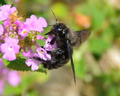 Abella negra (Porschista) Tags: mijardn maresme catalunya bee abeja abella negre negra black noir flores lantana lantanamontevidensis libacin
