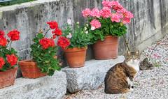 IMG_0016 kitty and geraniums (pinktigger) Tags: cat feline kitty pet pose cute flowers vase geraniums gatto kat stone summer animal katze platicodon