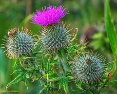 Flower of Scotland (MC Snapper78) Tags: plant flower scotland fife thistle jaggy eastneuk nikond3300 marilynconnor