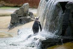 Penguin having a shower (nodb652) Tags: zoo penguin edinburgh edinburghzoo