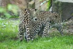 Persian leopard 2016-07-07-0455 (bzd1) Tags: panter nature animal mammal carnivore persianleopard leopard felidae cat bigcats panthera pantherapardusciscaucasia