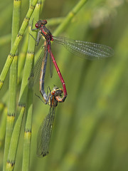 Large Red Damselfly (JaneTurner68) Tags: canon insect scotland pond damselfly scottishhighlands largereddamselfly lochgarten canonsx50