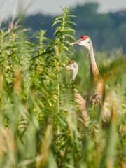 Sandhill Cranes (pattyg24) Tags: horiconmarsh sandhillcranes wisconsin bird nature summer