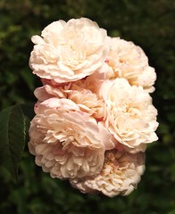 Roses (ekaterina alexander) Tags: roses summer rose flowers ekaterina england alexander sussex photography pictures