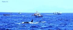FAMILIA DE ORCAS CAZANDO ATUNES (wiedu09) Tags: pesca atn estrechodegibraltar atnrojo