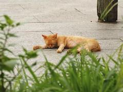 (kokemomiji) Tags:  cat weed olympus omd em1 mzuiko 40150 f28 pro summer