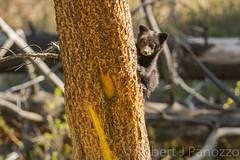 Hang in there (ChicagoBob46) Tags: blackbear bear cub coy cuboftheyear yellowstone yellowstonenationalpark nature wildlife