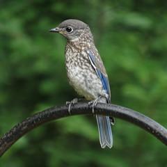 all alone (mimbrava) Tags: easternbluebird sialiasialis bluebird bird fledgling thoughthewindow arr allrightsreserved mimeisenberg mimbrava mimbravastudio