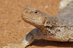 #_  # # #  # # # # # # # # #sonyalpha #goodevening #  #  # #photo # # #Lizard #lizards #reptiles #dinosaur #dinosaurs #animal #animals # # (photography AbdullahAlSaeed) Tags: goodevening   dinosaurs  reptiles  animal  lizard lizards    dinosaur          photo sonyalpha animals
