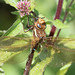 Dragonfly (Brown Hawker) Chewing a Wasp