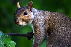 Squirrel - close up (crazyxavphotos) Tags: squirrel squirrels chipmunk chipmunks wildlife animal wildanimal wilderness nature naturephotography wildlifephotography animalphotography animallover animals urbananimal urbananimals green closeup natural outdoor rodent