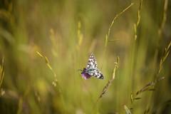 _DSC0281 copy (Etardo64) Tags: butterfly castelluccio farfalla green macro nature sibillini