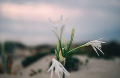 White flower (mougrapher) Tags: sea seascape vsco flower flowers sunset tramonto mare sky cloud clouds fiori italia italy nature natura sand sabbia