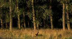 . . . early in the morning (hardy-gjK) Tags: landscape forest wood wald trees bume reh natur nature roe deer landschaft morning morgen licht light sunrace sonnenaufgang mammals animal
