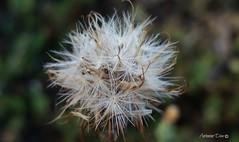 Dente de Leo (antoninodias13) Tags: espontnea planta diurtica ch emagrecer desintoxicar campo espaosrurais sert beirabaixaportugal macro