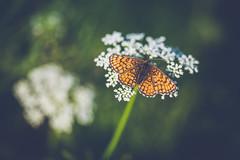 Heath Fritillary (Ville Airo) Tags: heath fritillary ratamoverkkoperhonen melitaea athalia butterfly perhonen flowers finland