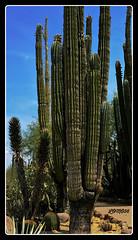 Saguaro-Kakteen (Carnegiea gigantea), USA (LOMO56) Tags: camegieagigantea tucsonarizona tucson usa wstenpflanzen saguarokaktuscamegieagigantea kakteen exotischekakteen saguarokaktus naturaufnahmen natur naturwunder arizona saguaros omnitucsonnationalresort wstenvegetation