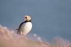 _MG_1680.jpg (helmutfaugel) Tags: schottland fairisle grosbritannien europa vogel 2016 shetland papageientaucher orte