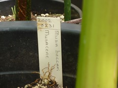 Musa beccarii 1 (heinvanwinkel) Tags: 2011 banaan bloemvandedag commelinids euphyllophyta hortus juni leiden liliopsida magnoliophyta mesangiospermae musabeccarii musaceae nederland petrosaviidae spermatophyta tracheophyta zingiberales