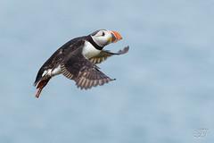 Macareux moine (Tifaeris) Tags: alcids atlanticpuffin charadriiformes fraterculaarctica macareuxmoine bird oiseau