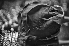B&W Rose (WilliamND4) Tags: flowersinblackwhite nikon d750 meyeroptikgoerlitztrioplanf28100 rose bw blackandwhite flower macromondays macro bokeh
