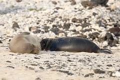 Hawaiian Monk Seal (Neomonachus schauinslandi) (s_uddin59) Tags: hawaiianmonkseal monkseal seal motherpup nursingpup seallpup neomonachusschauinslandi endangered endemic oahu sandybeachpark hawaii