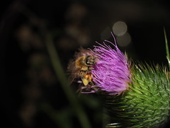 "Pollen Covered Honey Bee, Thistle Flower and three ""Orbs"" SOOC Super Macro DSCF3962 (Ted_Roger_Karson) Tags: fujifilmxs1 raynoxdcr150 honeybee thistleflower handheldcamera northernillinois add tags beta fujifilm xs1 honey bee flying bees thistle flower hand held camera northern illinois raynox dcr150 super macro lens thisisexcellent flowerhead flowers back yard friends twop bug hd fuji eyes macrolife m150 macroscopic pollen animal outdoor insect pollinator plant depth field backyard animals"
