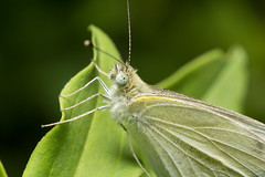 White Butterfly (benevolentkira7) Tags: butterfly white wing wings bug bugs insect insects leg legs antenna eye eyes flying moth large grooves
