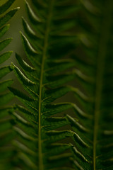 160802_006 In a row (MiFleur...Thank You for 2 Million Views) Tags: fern plants nature leaves feuilles fougres vert green pattern texture
