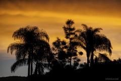 Jungleland.... (Joe Hengel) Tags: socal southerncalifornia sunrise morning morninglight goodmorning theoc tree palmtrees palmtree palm palmfronds orangecounty oc outdoor orange california clouds ca goldenstate golden glow sanjuancapistrano