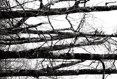 Arbres allongés (Sarah Devaux) Tags: arbres allongés noir et blanc bw charente rivière promenade branches ciel extérieur lignes parallèles troncs rameau