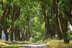 Aleja Klonw w Zotym Potoku (JoannaRB2009) Tags: maple tree klon alley avenue path road nature summer light shadow sunlight weather leaves foliage landscape view zotypotok polska poland