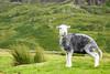 Peeing lamb (G. Warrink) Tags: england lakedistrict cumbria uk unitedkingdom peeing lamb sheep hardknottpass hardknott roman fort hardknottromanfort