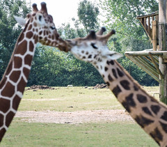 Zoo de Cerza (Brnys) Tags: zoo cerza zoodecerza animal animaux lisieux normandie calvados bassenormandie girafe giraffe flou focus