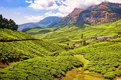Kolukkumalai, Highest tea plantations, Munnar, Kerala, India (CamelKW) Tags: 2014 india kerala kolukkumalai highest teaplantations munnar