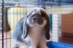 Ciao! Mi chiamo Mylo ! (Ale*66*) Tags: pet pets arietenano bunny bunnylop rabbit coniglietto friend amico amore love