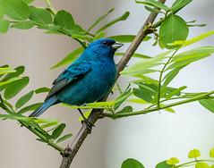 Indigo Bunting (snooker2009) Tags: blue bird nature spring wildlife indigo bluebird migration bunting tnclivenature