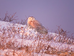 After the Blizzard (Tantivy_J) Tags: winter snow bird dunes owl blizzard invasion yelloweyes bubo snowyowl beachroad strigidae irruption buboscandiacus irruptivespecies invasionyear
