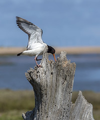 Oystercatcher (wardyian) Tags: beach coast sitting nest coastal eggs oystercatcher nesting incubating