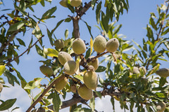 Agrigento -Almonds (amberroadtours) Tags: sicily agrigento greektemple