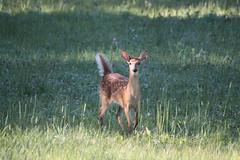 IMG_9158 (thinktank8326) Tags: nature wildlife deer spots fawn whitetaileddeer babyanimal