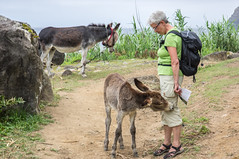 12 A donkey foal interested in a tourist's trousers (Staffan Swede) Tags: utomhus azores azorerna donkey sna djur animal