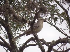 DSC04993 Sabi-Do-Campo (familiapratta) Tags: bird nature birds brasil iso100 sony natureza pssaro aves pssaros novaodessa novaodessasp hx100v dschx100v