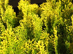Shrubbery - Yellow Green (Accretion Disc) Tags: green yellow juniper shrubbery