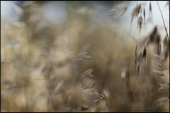 ignoradas almenaras infinitas (joaaglera) Tags: nikon d610 nikkor 105mmf2ddc desenfoque dof bokeh luz light amarillo yellow gold golden avena oats summer summertime verano