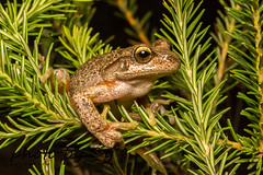 Littlejohn's Tree Frog (Litoria littlejohni) (peter soltys) Tags: petersoltys photography macro macrophotography adventure photobycy herping amphibia frog littlejohnstreefrog litorialittlejohni litoria