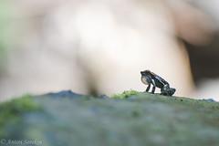 Rocket Frog Song (antonsrkn) Tags: dendrobatidae frog amphibian nature southamerica river stream boulder rock animal nikon nikkor telephoto aposematic calling singing noise conservation wild dendrobatoidea dendrobatid los tayos rocket hyloxalus nexipus cordilleraescalera peru