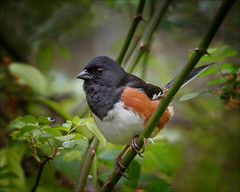 In The Thicket (kathybaca) Tags: summer male bird nature birds animal animals forest insect fly woods pretty nest wildlife feathers aves sing planet joyful towhee rufoussided
