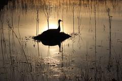 A Sun and Shield (Kenziu Garcia) Tags: sandhill crane lake florida usa outdoor