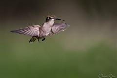 DSC_1493 (romain-dreux-photo) Tags: birds quebec canada nature colibri